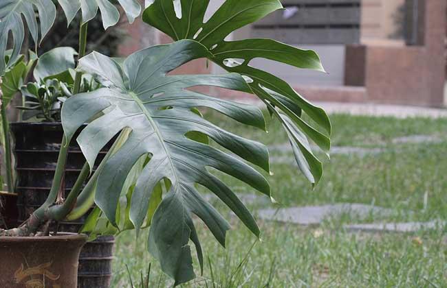蔓状龟背竹