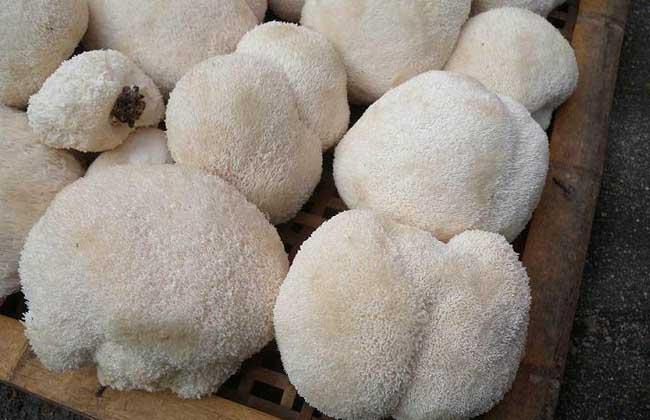 猴头菇的市场价格