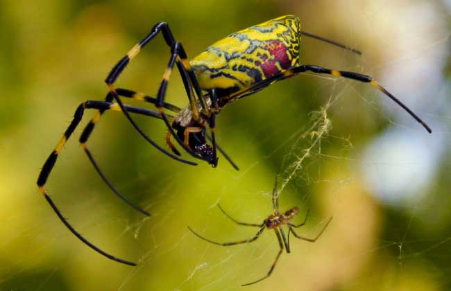 蜘蛛是不是昆虫