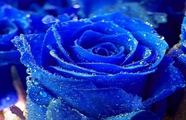 蓝色妖姬多少钱一朵