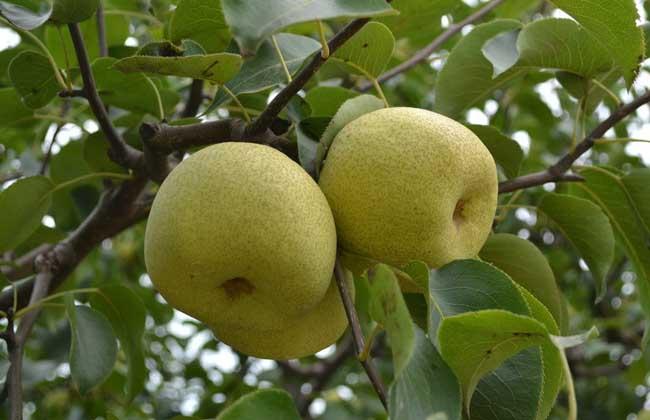 梨树的种植环境