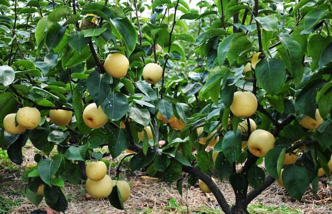 梨树的果园建立