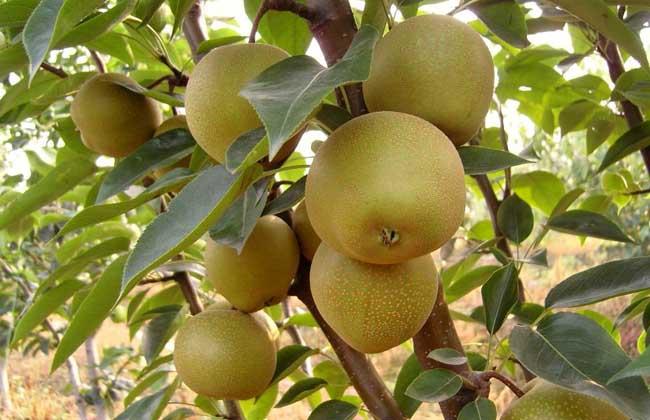 梨树的修剪方法