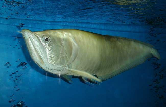 银龙鱼常见病