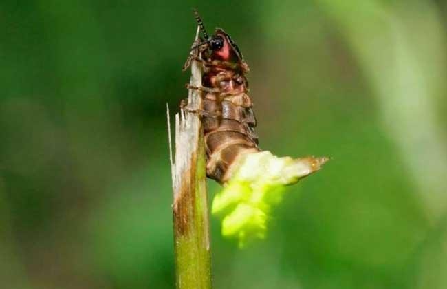 萤火虫吃什么食物