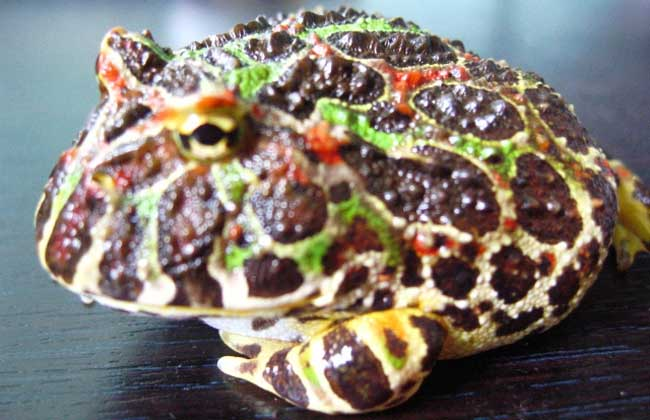 角蛙价格行情