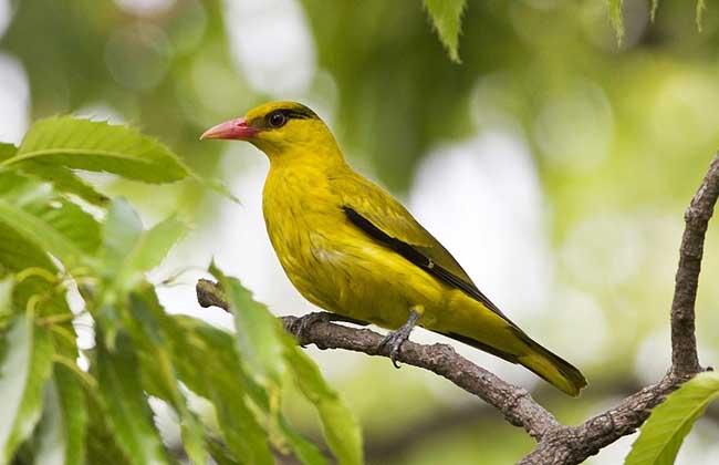 黄鹂鸟吃什么食物