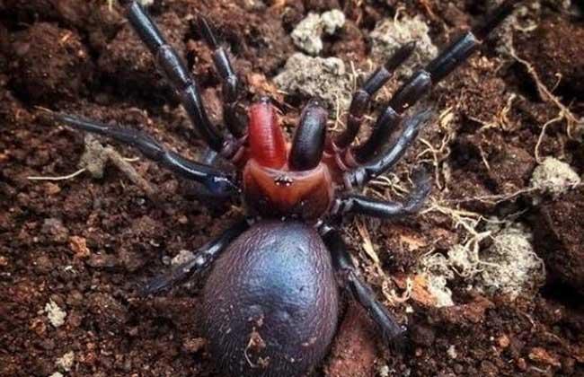 漏斗网蜘蛛