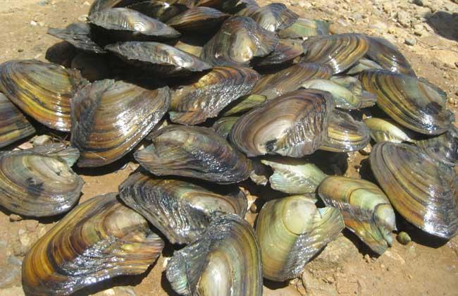 河蚌吃什么食物