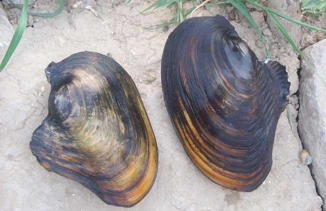 河蚌养殖技术