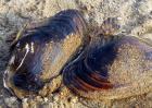 河蚌的做法大全