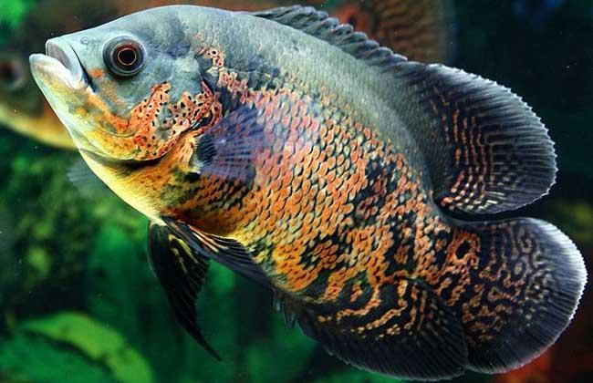 地图鱼常见病防治