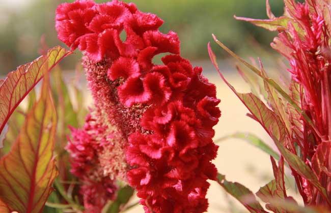鸡冠花品种图片