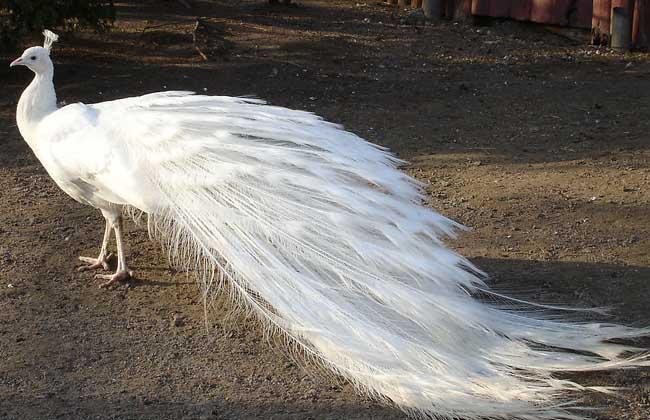 白孔雀开屏