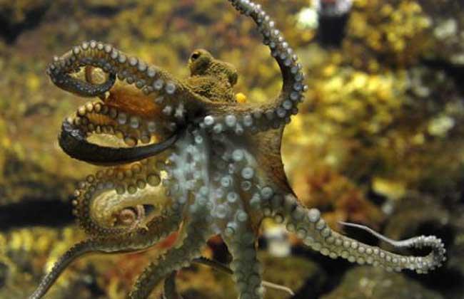 章鱼人工养殖管理技术