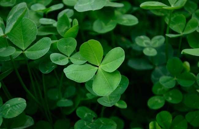 四叶草代表什么含义_四叶草的花语是什么_三叶草种植图片