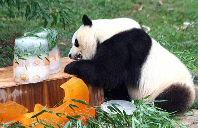 大熊猫的特点