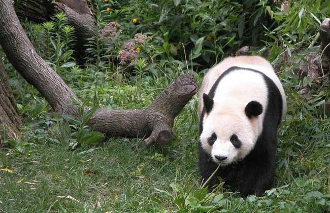 可爱的动物之一,下面我们就一起来看一看大熊猫吃不