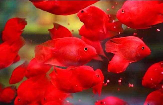 常见的风水鱼有哪几种?