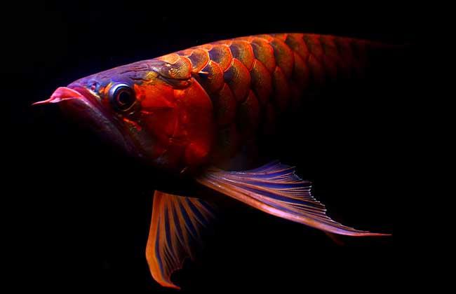 红龙鱼怎么养最好?