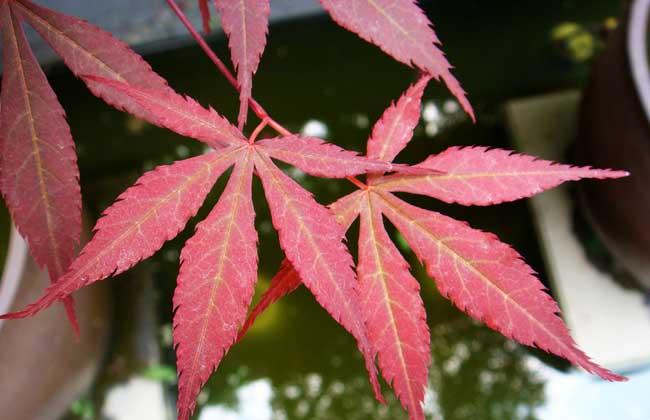 红枫树苗价格多少钱