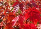红枫种子怎么种?