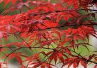 日本红枫种植技术视频