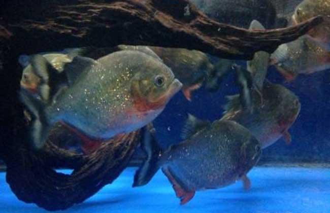 红腹水虎鱼怎么养