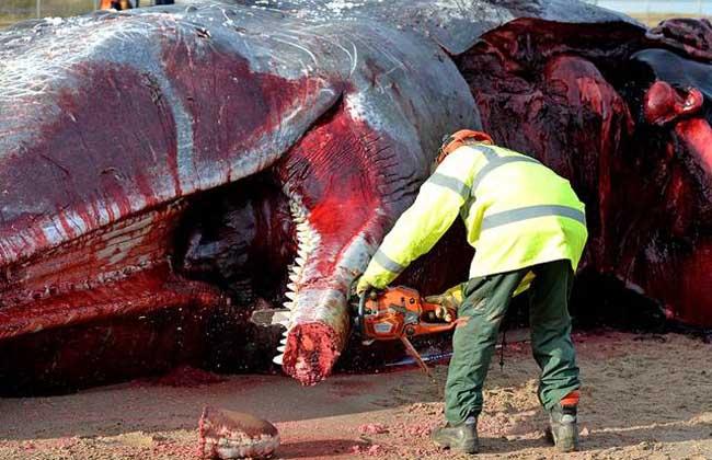 鲸鱼爆炸的危害多大