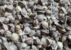 辣木籽可以长期吃吗?