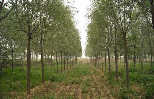 柳树种植技术