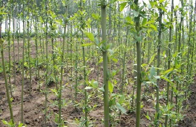 柳树的繁殖方法
