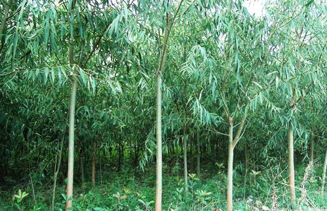竹柳种植技术