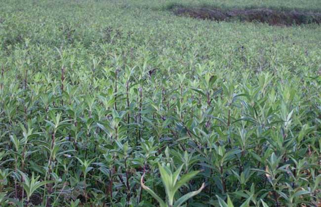 龙胆草种植技术
