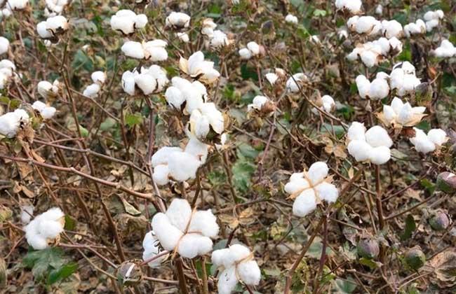 棉花种植技术