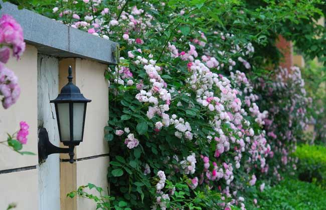 蔷薇花的花语和传说