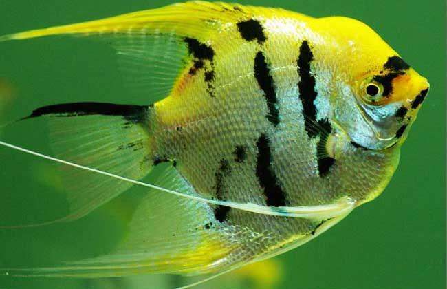 神仙鱼的寿命多长