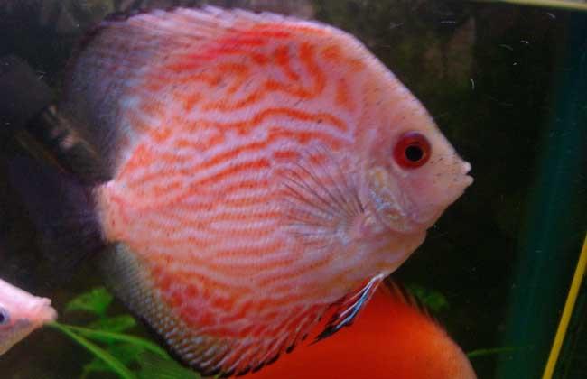 神仙鱼和什么鱼混养?