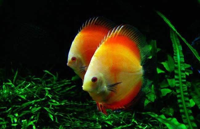 七彩神仙鱼价格多少钱?