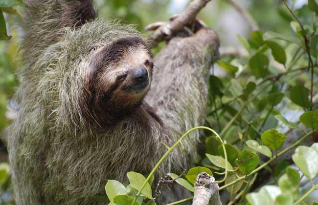 树懒是哺乳纲披毛目下树懒亚目动物的通称,共有2科2属6种,形状略似猴,动作迟缓,常用爪倒挂在树枝上数小时不移动,故称之为树懒,也是唯一身上长有植物的野生动物,虽然有脚但是却不能走路,靠得是前肢拖动身体前行,下面我们就一起来看一看树懒种类图片大全吧!