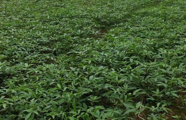 花椒种子怎么种
