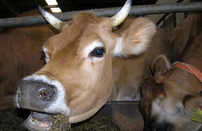 牛的年龄怎么看?