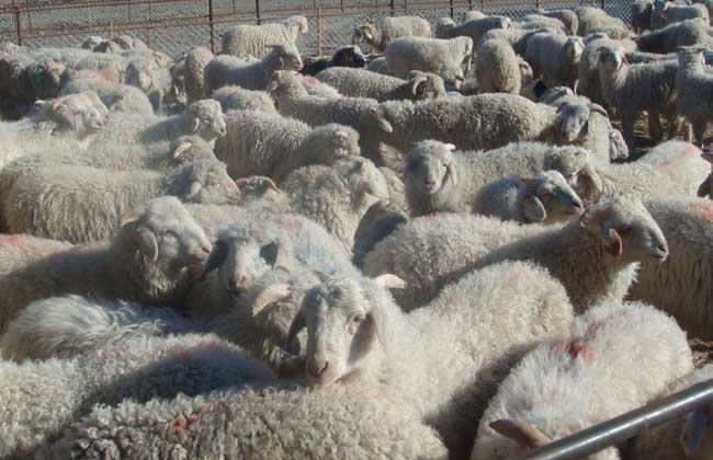 育肥羊饲料配方