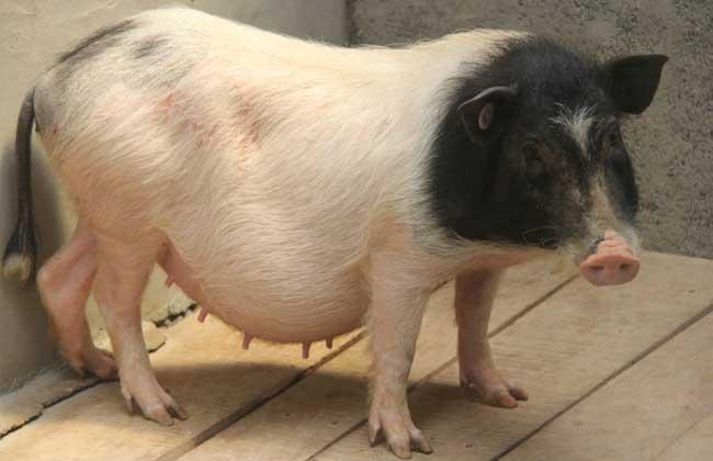 小香猪多少钱一只