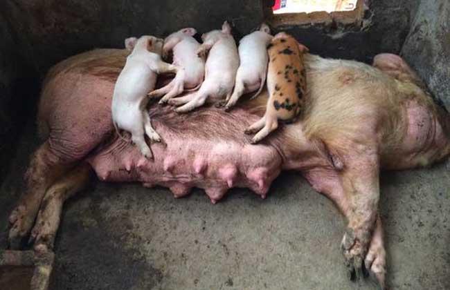 母猪各阶段饲料配方