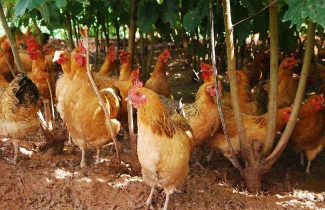 农村散养鸡技术