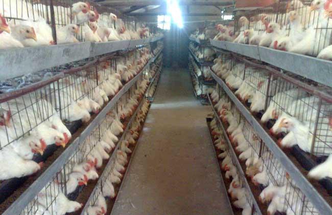 肉鸡养殖技术