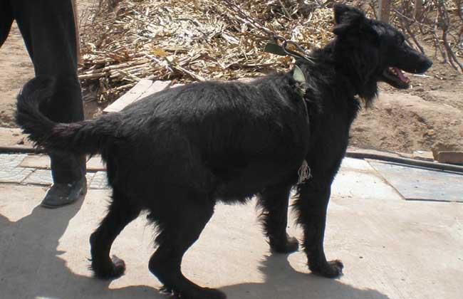 比利时牧羊犬