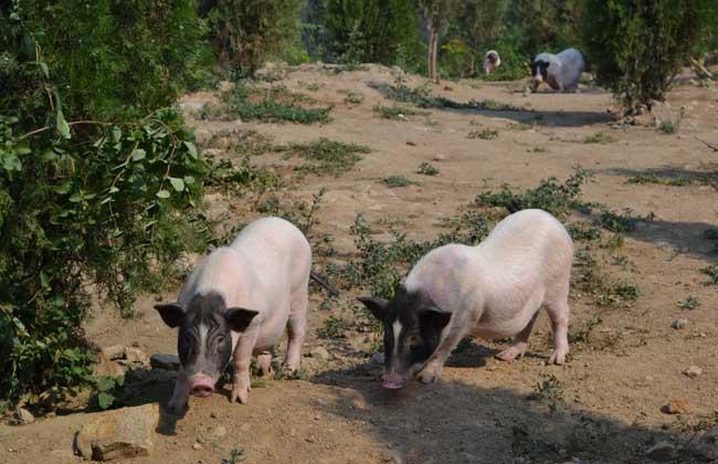 香猪品种图片大全