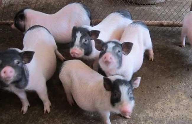 香猪养殖场建设方案